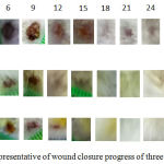 Figure 3: The representative of wound closure progress of three groups.