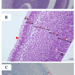 Figure 5: Photomicrographs of the fetal brain at GD20 from control and Cur treated groups showing: A)