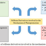 Figure 2: Overview of stilbene derivatives involved in the mechanism of photoprotection.