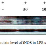 Figure 6: Effect of J6 on protein level of iNOS in LPS-stimulated RAW 264.7 cells.