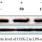 Figure 7: Effect of J6 on protein level of COX-2 in LPS-stimulated RAW 264.7 cells.