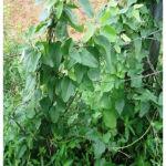 Figure 2: Cocculus hirsutus (L.) plant.