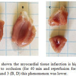 Figure 3: The scheme shown the myocardial tissue infarction is higher in vehicle (A, C) treated rats subjected to occlusion (for 40 min and reperfusion for 40 min); however, in presence of the compound 3 (B, D) this phenomenon was lower.