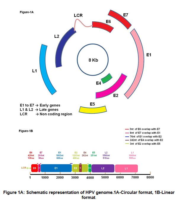Humán papillomavírus Papillomaviridae genom